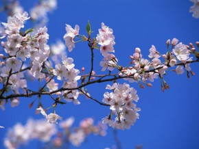 Japan's famous Cherry Blossoms, soon to bloom in Benguet