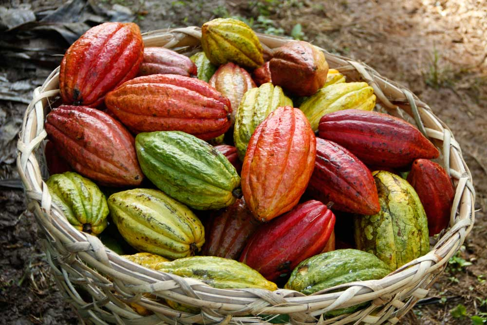 PH to target $250M earnings from Cacao exports by 2022 ...