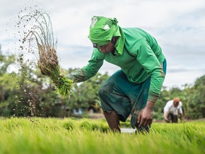 Philippines' Super rice, released for commercial use