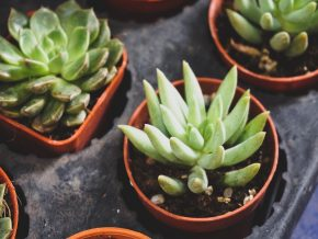 A Guide to Popular Succulents for Your Home