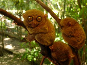 The Philippine Tarsier: Visiting the World's Smallest Primate