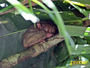 Bohol Tarsier Conservation Area: Peculiar Creatures and Where to Find Them