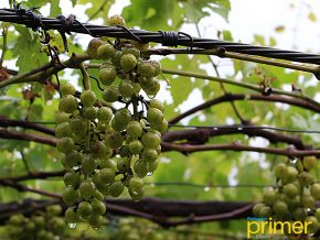 Lomboy Farms in La Union: The First Grape Farm in the Philippines