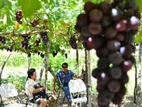 Gapuz Grapes Farms: Grape-picking under the sun