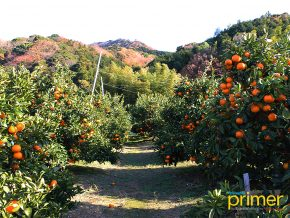 Gamagori Orange Park: A day of Fruit-Picking in Gamagori, Japan