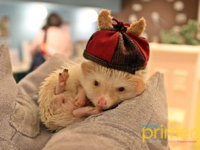 Chiku Chiku Cafe in Shibuya, Tokyo: Adorable Hedgehogs That Will Make Your Heart Melt