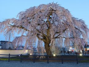 JAPAN TRAVEL: Hokuto Cherry Tree Corridor is Best for Night Cherry Blossom Viewing