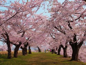 Your Ultimate Guide to Cherry Blossoms in Japan This 2019