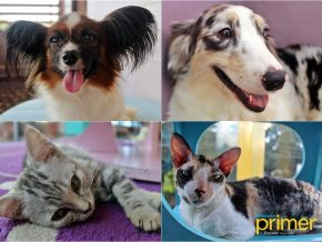 Tabby Town Cat Cafe & Corgi Club: Homey Pet Haven in Silang